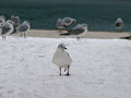 Seagull at the snow standing on icy cover and looking camera horizontal color photo Stock Images