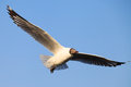 A seagull, soaring in the sky Stock Photo