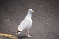 A seagull standing on highway Royalty Free Stock Photo