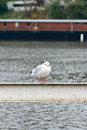 Seagull standing on a railing near the river Royalty Free Stock Photo