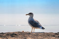 Seagull standing rock near water black sea Royalty Free Stock Photo