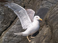 Seagull standing on rocks closeup view of a black hard Stock Photos