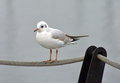 Seagull standing on a rope Royalty Free Stock Image
