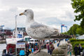 Seagull standing still Royalty Free Stock Photo