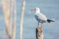 Seagull standing on stool and look back Stock Photo