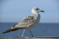 Seagull standing on a wall Royalty Free Stock Photo