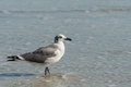 Seagull standing in water Stock Images