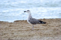 The seagull stands on sand on seacoast Royalty Free Stock Image