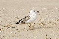 The seagull stands on sand on seacoast Stock Photo