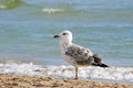 The seagull stands on sand on seacoast Stock Photos