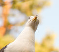 Seagull staring downwards with blue sky and autumn colors in background Stock Photos