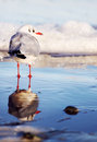 Seagull staying in the water and his reflexion on shore pure Stock Photos