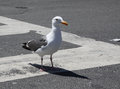 Seagull Struts across Street Crossing Royalty Free Stock Photo