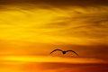 Seagull at sunset flying into beautiful golden sky in california Stock Photography