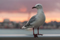 Seagull at sunset Royalty Free Stock Photo