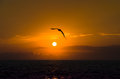 Seagull sunset silhouette Royalty Free Stock Photo