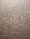 Seagull tracks left in the wet sand by a in the wet sand along the pacific ocean Royalty Free Stock Photos