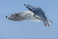 Seagull under spread wings Royalty Free Stock Photo