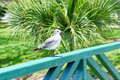 Seagull at USF campus Royalty Free Stock Photo