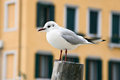 Seagull in Venice Stock Photo