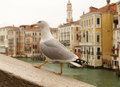 Seagull in venice italy with grand canal bacgkground Stock Photo