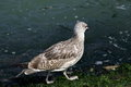 Seagull walking along the shore with algae in venice italy Royalty Free Stock Image