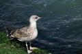 Seagull walking along the shore with algae in venice italy Stock Photo