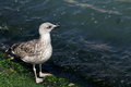 Seagull walking along the shore with algae in venice italy Royalty Free Stock Photography