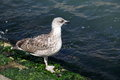 Seagull walking along the shore with algae in venice italy Stock Photography