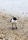 Seagull walking at the sandy beach near water Stock Photography
