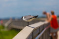 Seagull on Walkway Railing Royalty Free Stock Photo
