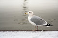Seagull by water Stock Photos