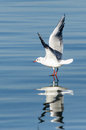 Seagull on water reflection Stock Image
