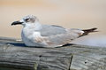 Seagull on wooden planks resting of a dock or pier Stock Photo