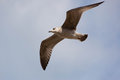 Seagull (Gull), Adriatic Sea Royalty Free Stock Photo