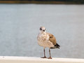 Seagull young herring standing on a white wall in front of shimmering water Royalty Free Stock Photography