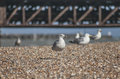 Seagulls on a beach in Brighton. Royalty Free Stock Photo