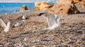 Seagulls on the beach sand with sea Stock Images