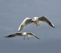 Seagulls Royalty Free Stock Photo