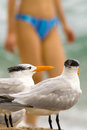 Seagulls close up of with a woman in the background miami miami dade county florida usa Royalty Free Stock Photography