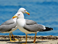 Seagulls couple of sea background Stock Photography