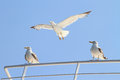 Seagulls escorting a ferry boat Royalty Free Stock Photography