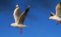 Seagulls in flight coming into land Stock Photos