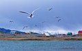 Seagulls fly and shout over the lake Royalty Free Stock Photo