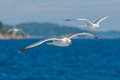 Seagulls flying among blue sky Stock Photography