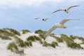 Seagulls flying over the dunes Royalty Free Stock Photos