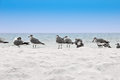 Seagulls gathered florida beach selective focus birds Royalty Free Stock Photos