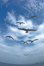 Seagulls in low flight over the sea near thassos island greece Royalty Free Stock Photo