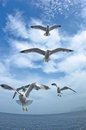 Seagulls in low flight over the sea near thassos island greece Stock Photo