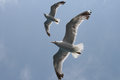 Seagulls pair of flying over sea Royalty Free Stock Image